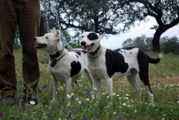 La junta de Andalucía se equivoca. Los perros de Rehala no son mascotas