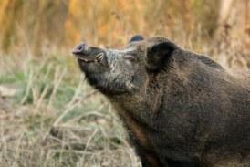 Cataluña. ASAJA pide leyes de caza «efectivas» por los daños provocados por la fauna salvaje