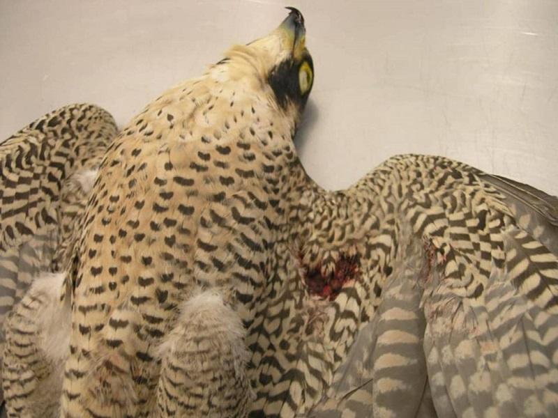 Las aves protegidas, las grandes perjudicadas por los furtivos en Euskadi