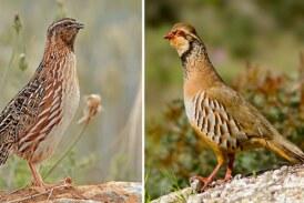 Cordornices, perdices o tórtolas: ecologistas exigen que una veintena de especies no se puedan cazar en Asturias