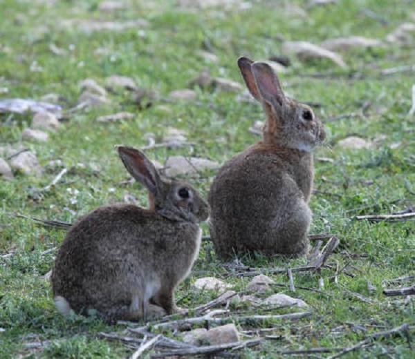 Los daños por los conejos aumentan en Lleida