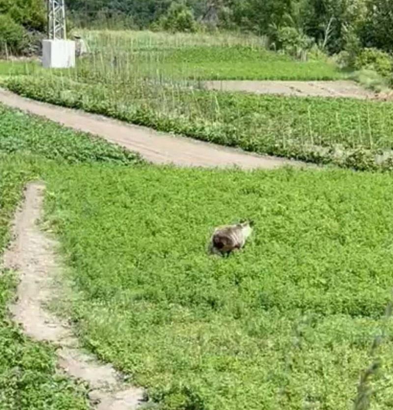 Alarma en Palacios del Sil por las incursiones de osos
