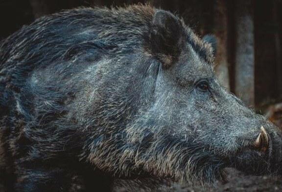 Híbridos radiactivos de cerdos y jabalíes se han apoderado de Fukushima