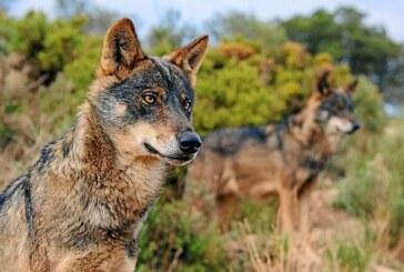 Cantabria. 34 lobos serán cazados pese a la negativa del Ministerio