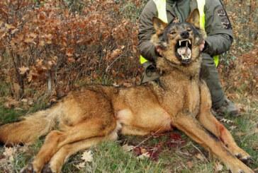 La RFEC rechaza la nueva maniobra del MITECO para proteger al lobo a pesar de las dudas del procedimiento