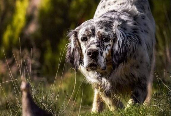 La media veda y la caza de la codorniz son la auténtica escuela del perro joven