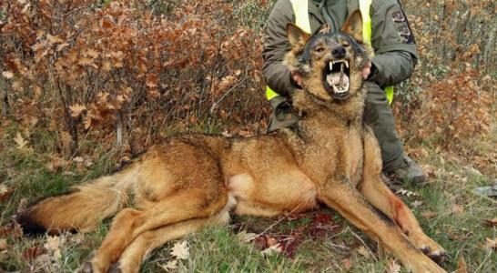 La RFEC lleva a Teresa Ribera a los tribunales por prohibir la caza del lobo en toda España