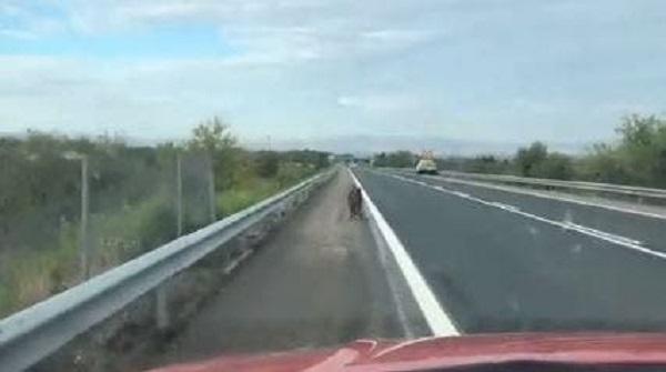 Una patrulla de Policía Foral persigue a un jabalí hasta que lo saca de una carretera navarra