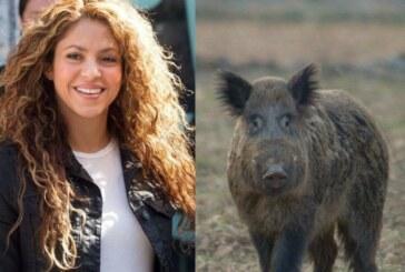 Shakira se enfrenta a dos jabalíes que se llevan su bolso en el bosque