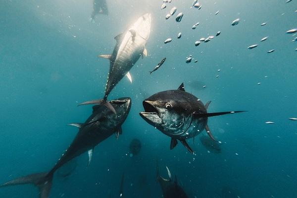 BALFEGÓ y AZTI se alían para impulsar proyectos de investigación y valorización para la pesca y acuicultura del Atún Rojo