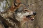 Ganaderos y cazadores temen las consecuencias por la prohibición de la caza del lobo