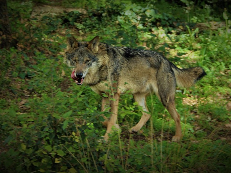 El lobo se expande por Aragón con la aparición de ejemplares también en Teruel y Zaragoza