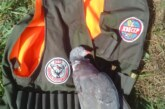 Los aficionados ponen a punto sus puestos para la pasa de palomas y malvices