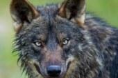 Una prestigiosa abogada medioambiental asegura que la prohibición de cazar lobos podría ser nula