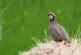 El proyecto RUFA comienza a dar frutos en la recuperación de la perdiz roja